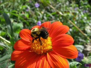 One day, I am going to attempt to take a picture of a bee, get to close to it, piss it off, and get stung.  Last time I checked, I am allegric to wasps.  Don't want to find out if the same holds true for other winged critters with a stinger.