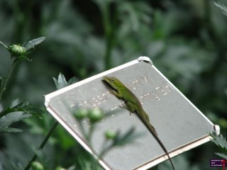 I guess this Anole is using the metal of the name plate to warm himself up.  Note how he's looking at me.