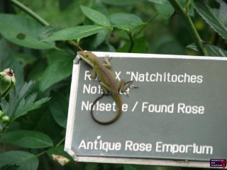 Apparently, the name plates are popular among the Anoles.  He's a cutie.